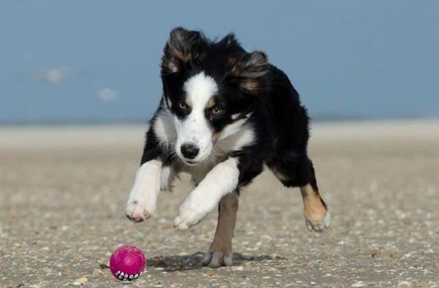 Бордер колли – бег с мячиком