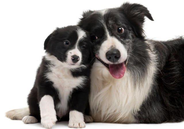 Бордер колли – щенок и взрослая собака