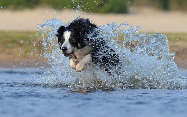 Бордер колли – бег в воде