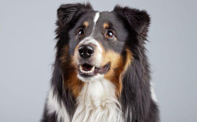 Бордер колли – портрет собаки