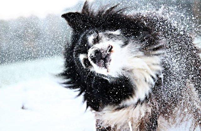 Бордер колли – зимняя прогулка