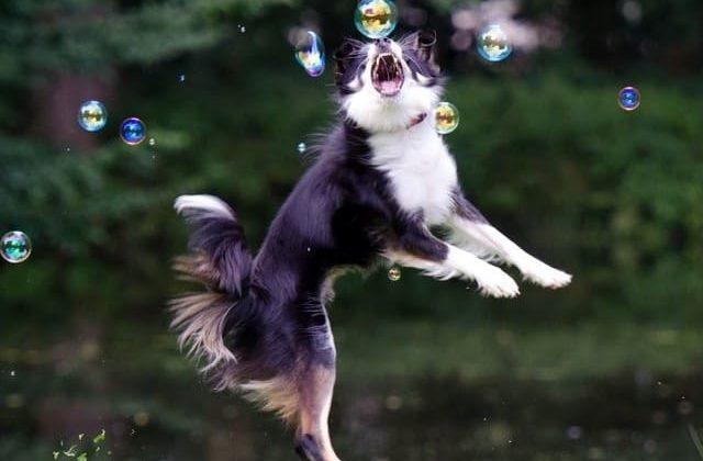 Бордер колли – собака в прыжке