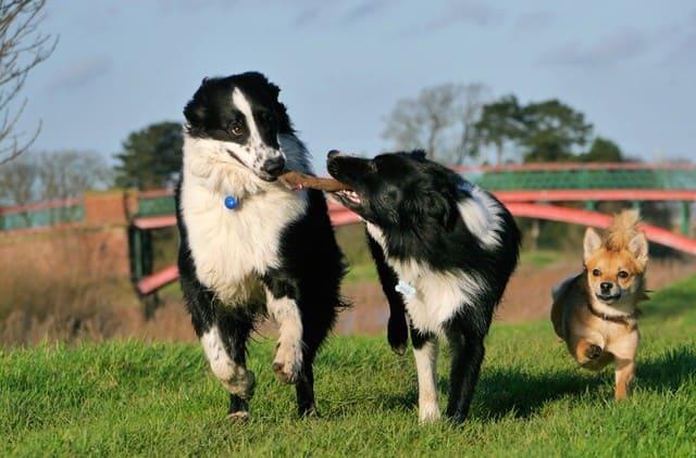 Бордер колли хорошо ладит с другими собаками