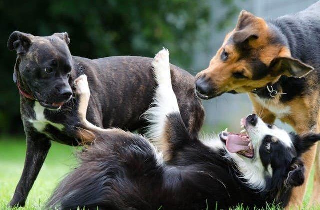Бордер колли – игра с другими собаками
