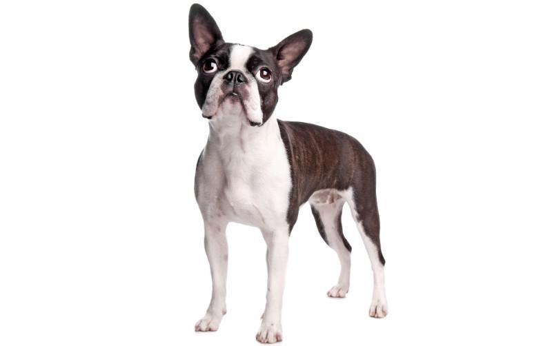 Бостонский терьер – внешний вид собаки