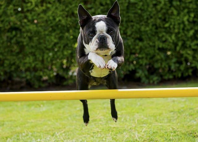 Бостонский терьер прыгает через барьер