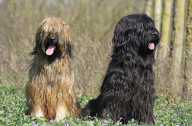 Бриары – собаки палевого и черного окрасов