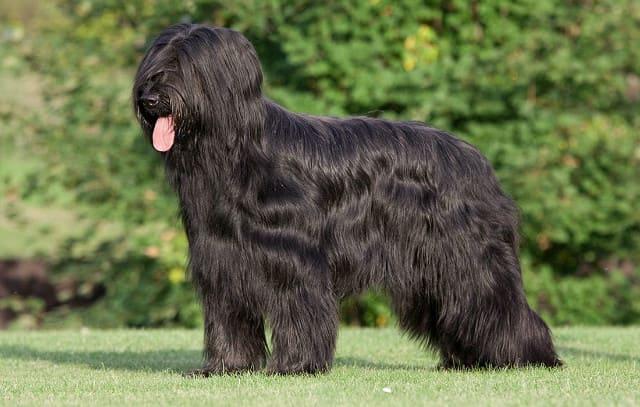 Черная французская овчарка бриар