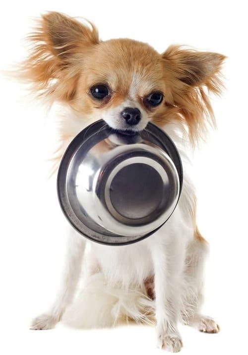 Собака чихуахуа с миской в зубах