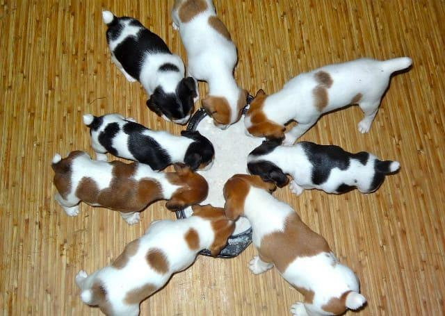 Чем кормить щенков джек-рассел-терьера