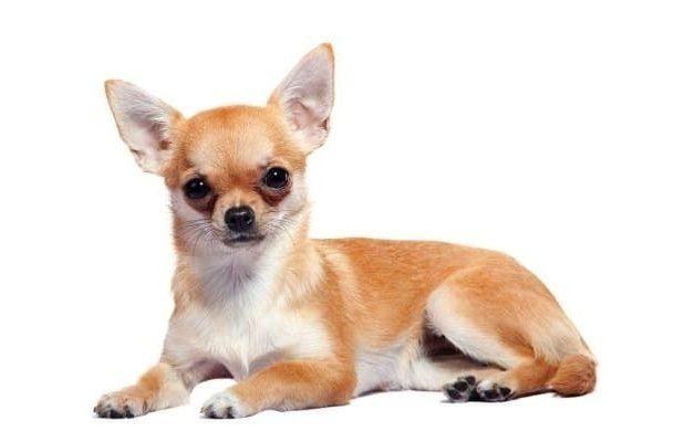 Собака чихуахуа породы мини