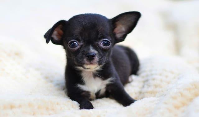 Черный щенок мини чихуахуа