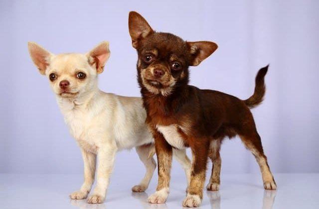 Две собачки породы мини чихуахуа