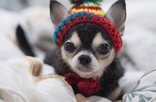 Мини чихуахуа в шапочке