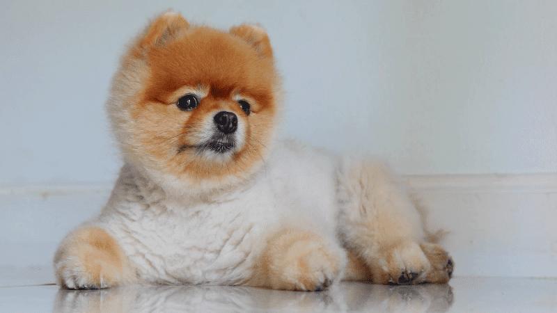 Cтрижка шпица – плюшевый медвежонок