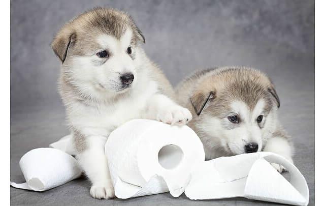 Дрессировка хаски – приучение к туалету
