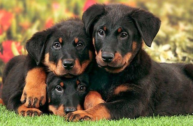 Милые щенки французской овчарки
