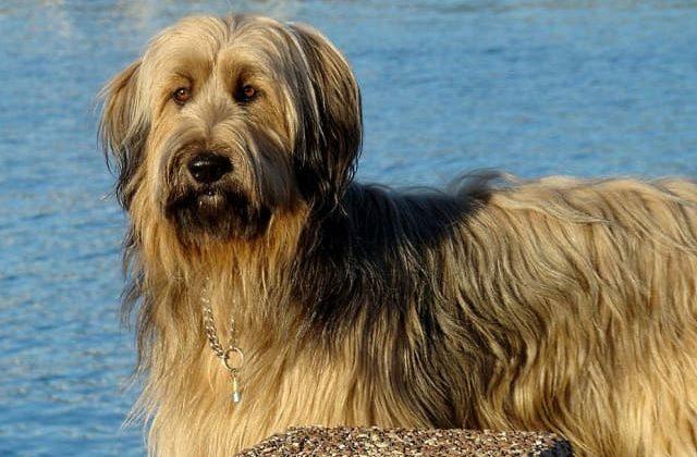 Бриар – морда собаки