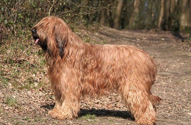 Бриар – собака в полный рост