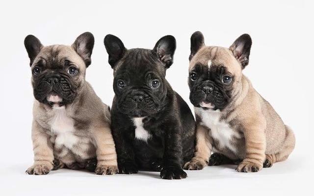 Французский мини бульдог – щенки