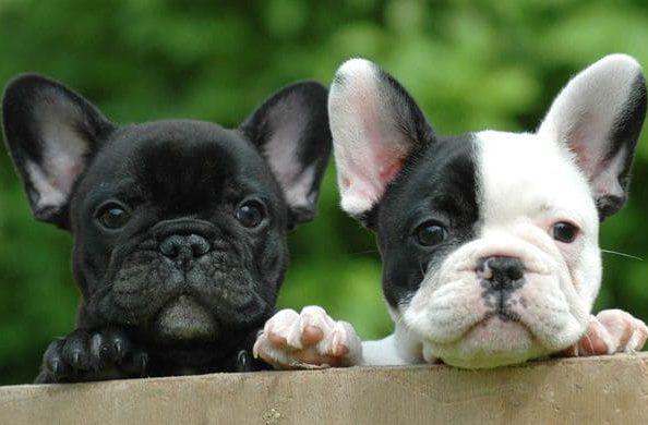 Собаки породы французский мини бульдог