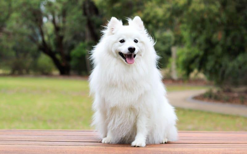 Японский шпиц – средняя порода собак