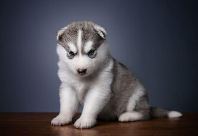Глаза у щенка хаски