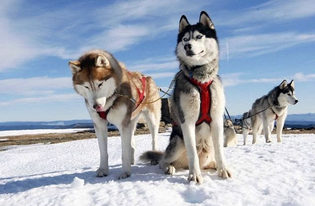 Хаски – красивые ездовые собаки