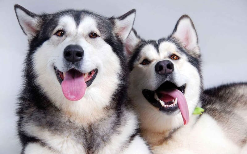 Имена для хаски – фото собак