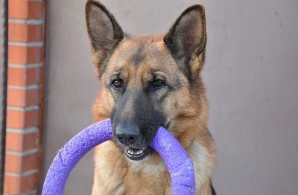 Как дрессировать немецкую овчарку – собака с кольцом в зубах