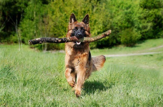 Как правильно дрессировать немецкую овчарку – собака с палкой в зубах