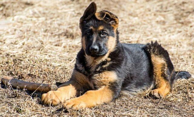 Как дрессировать немецкую овчарку – щенок