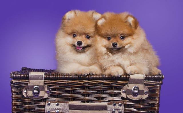Как назвать шпица – щенки