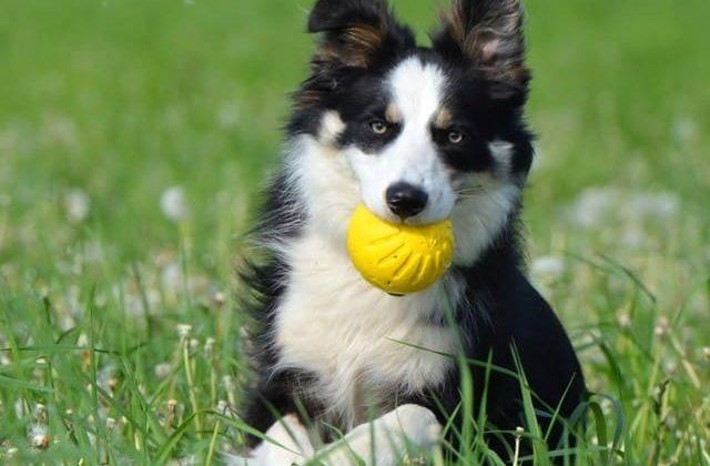 Карликовые колли – собака с мячиком