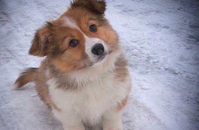 Карликовые колли – милый щенок