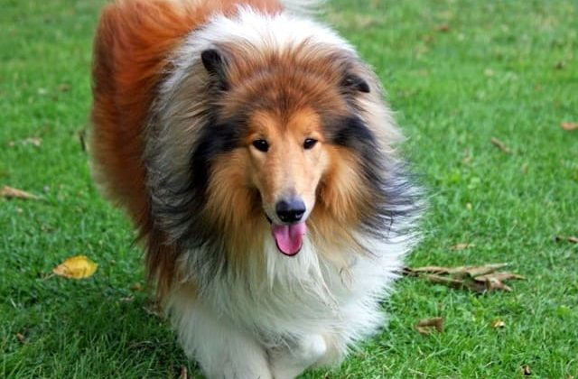 Карликовые колли – собака с густой шерстью