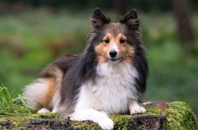 Карликовые колли – маленькие собаки