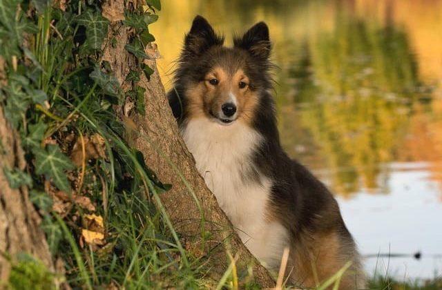 Карликовые колли – собака у дерева