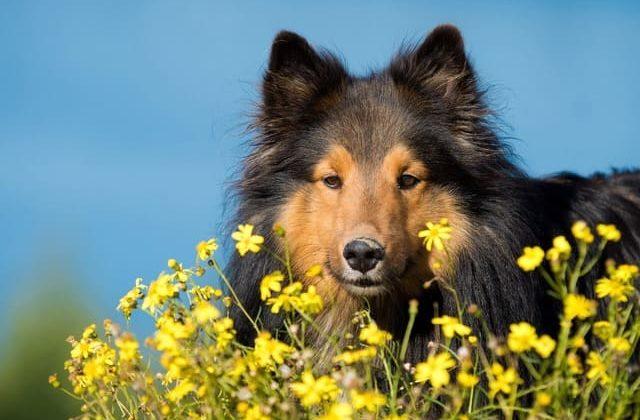 Карликовые колли – пес на фоне цветов