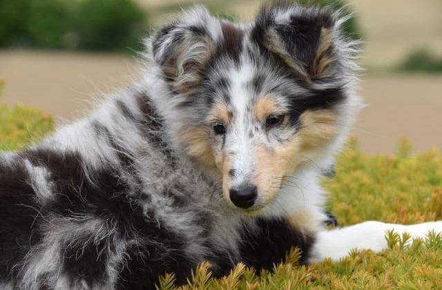 Карликовые колли – собака с необычным окрасом шерсти