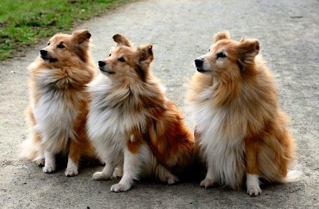 Карликовые колли – очень верные собаки