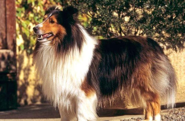 Карликовые колли – красивая порода собак
