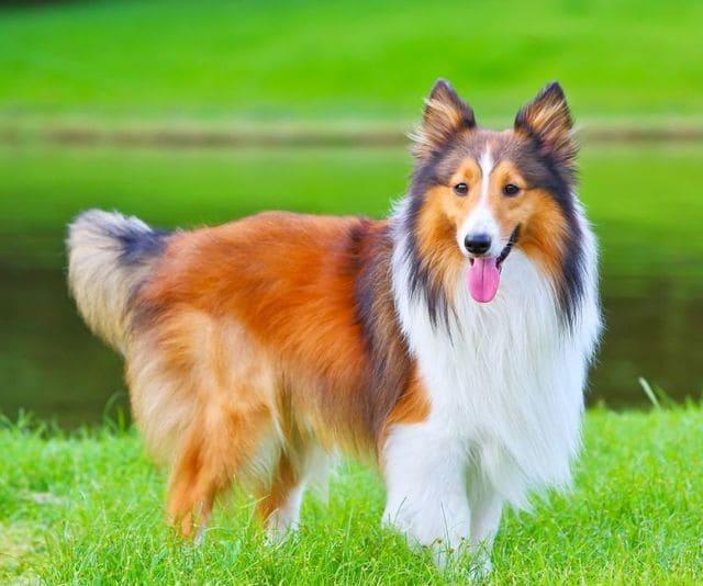 Карликовые колли – собака с рыжим окрасом