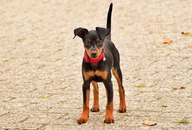Карликовый пинчер – щенок в полный рост