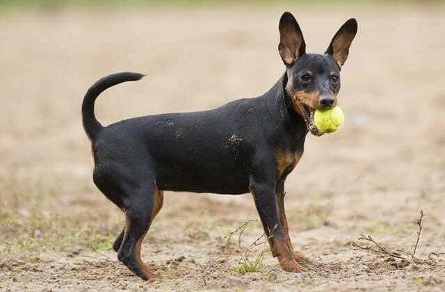 Карликовый пинчер – игра с мячом