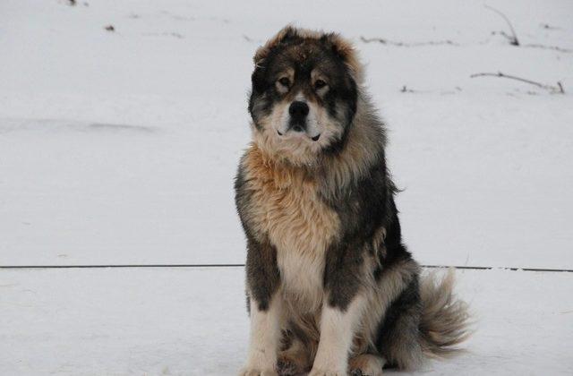 Взрослый пес породы кавказская овчарка