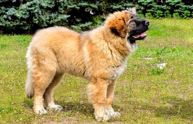 Рыжий щенок породы кавказская овчарка