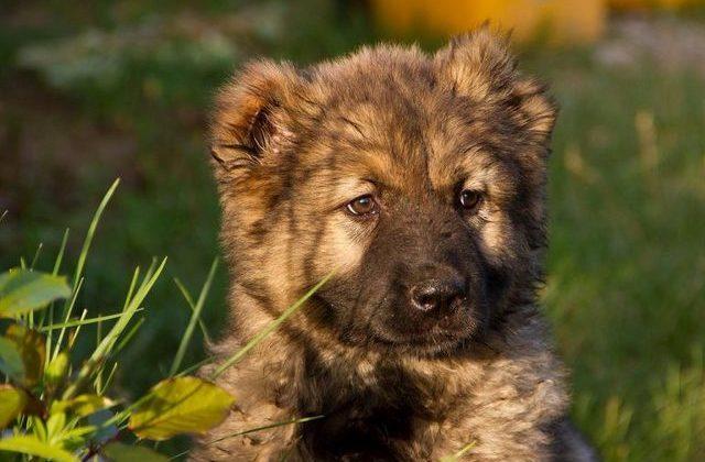 Голова щенка породы кавказская овчарка