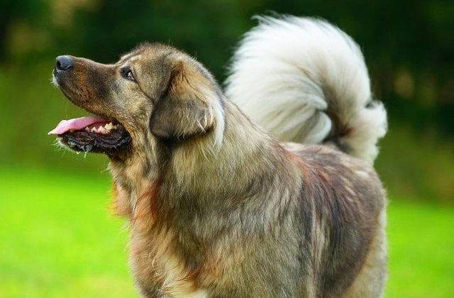 Кавказская овчарка – летняя прогулка