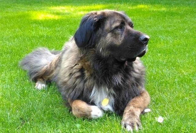 Кавказская овчарка – собака на траве